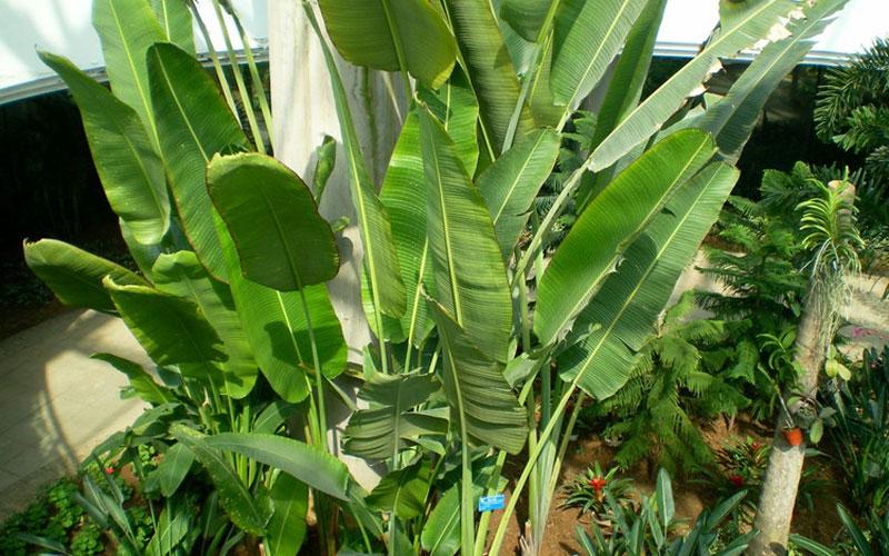 旅人蕉又名扇芭蕉,旅人树,孔雀树,为一极富热带风光的观赏植物